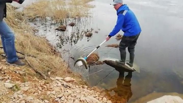 На Нейво-Рудянском водохранилище – массовый мор рыбы