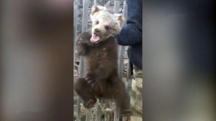 Мать убили браконьеры: обессиленный медвежонок вышел к людям