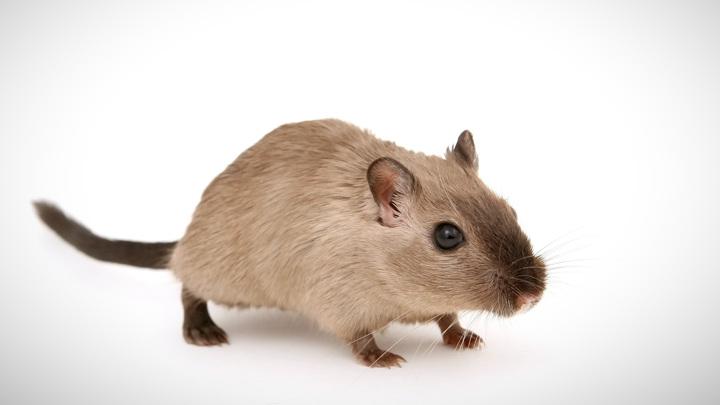 Чтобы изучить, какие изменения в мозге вызывает состояние невесомости, учёные отправили на МКС несколько лабораторных мышей.