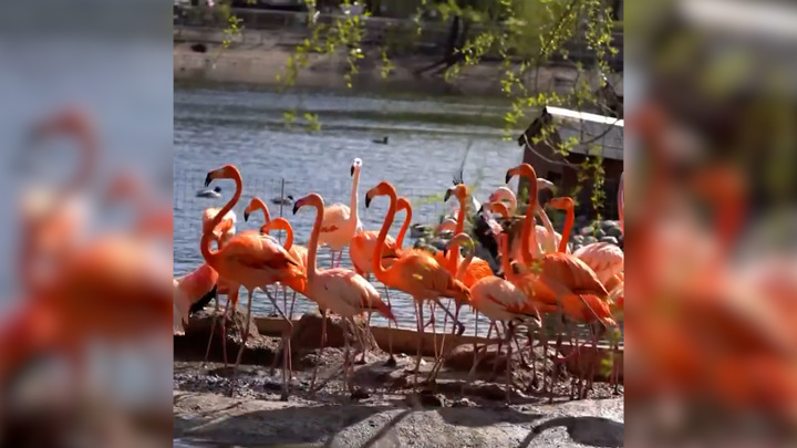 Московские фламинго переехали в летний вольер