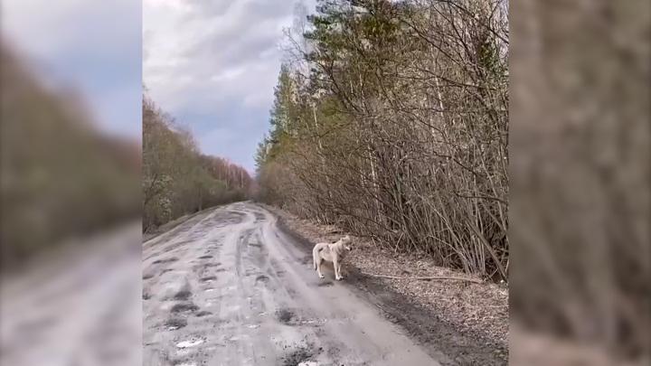 На дороге в Челябинской области встретили волка