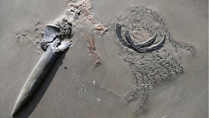 На фото отчётливо видны сохранившиеся ростр и крюки древнего моллюска, а также очертания его добычи (над основанием левого крюка).