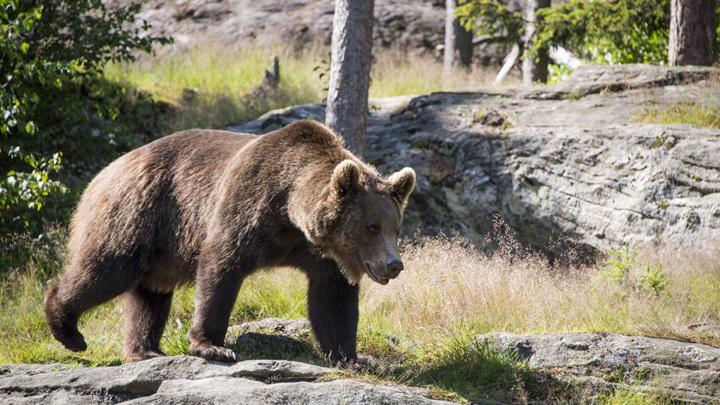 В Амурской области медведь-хулиган забрался в пункт обогрева и устроил погром