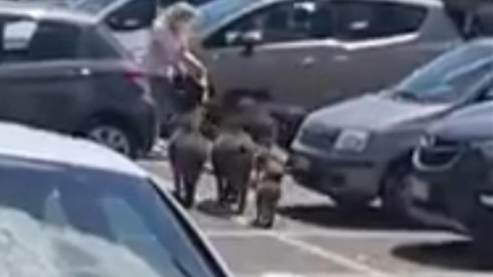 Кабаны окружили женщину возле супермаркета и украли ее покупки