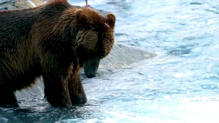 Медведи-гибриды могут заместить обычных