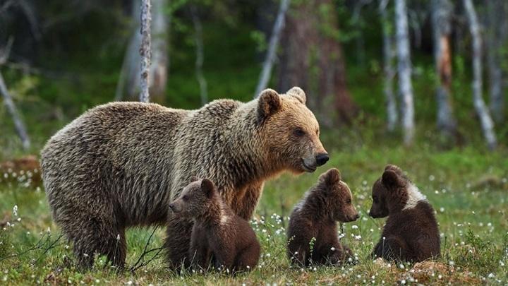 В Башкирии медвежата пришли на горнолыжный курорт