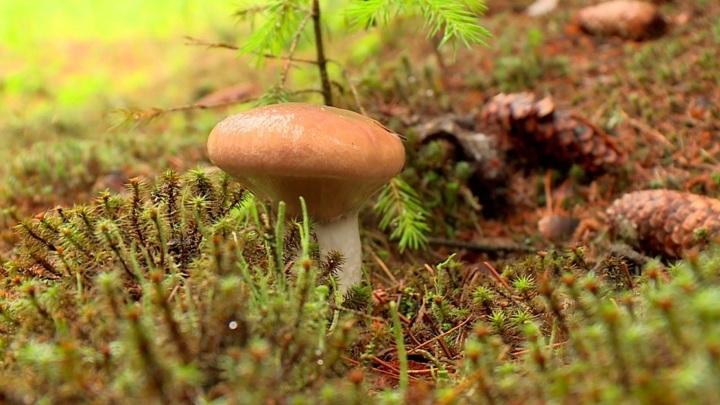 В лесах Подмосковья начался сезон летних грибов
