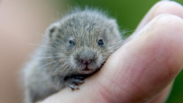 Полёвки - близкие родственники леммингов и ондатр, хотя внешне больше напоминают мышей.