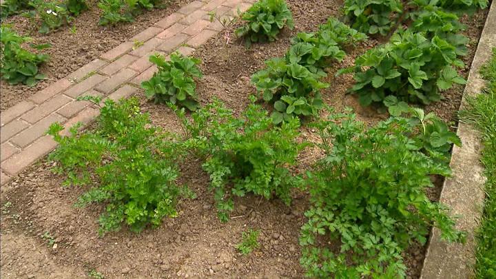 У дачников закудрявилась петрушка: семена растения попали в черный список