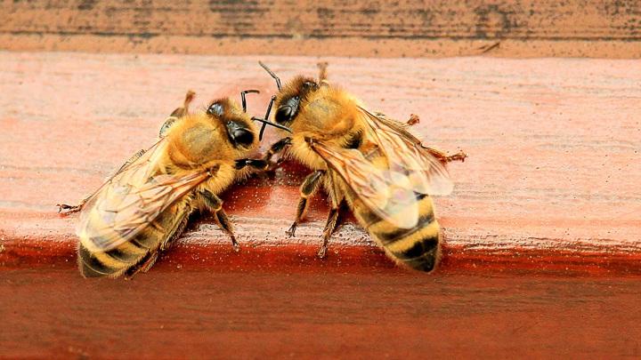 Одна пчела хорошо, а две - лучше.