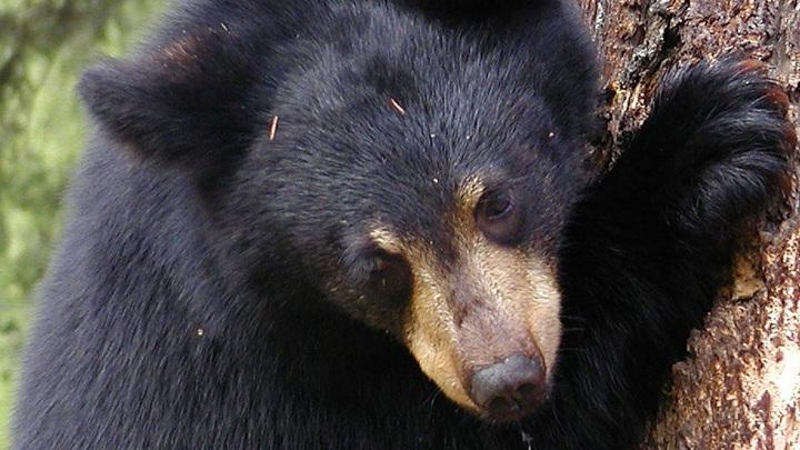 Медвежонка увидели на балконе одной из квартир Томска