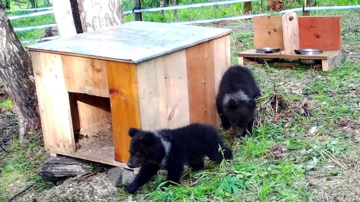 На Алтае открылся реабилитационный центр для медвежат