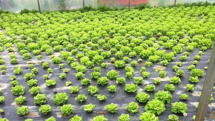 Здоровый урожай листового салата, полученный после процедуры биодезинсекции.