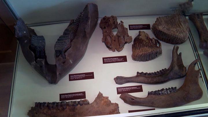 Зубы мамонтов и пещерных медведей показали на выставке в Новосибирске
