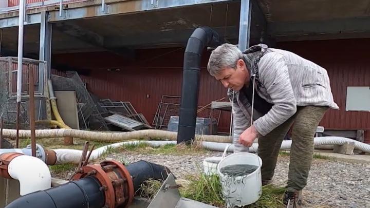 Сотни тысяч мальков кеты отправились в свободное плавание в Охотское море
