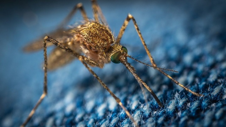Два новых вида комаров появились в Крыму