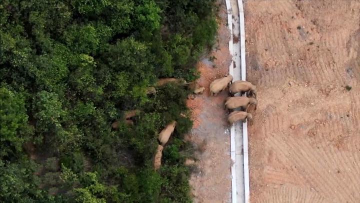 Слоновье реалити-шоу: сбежавшее стадо путешествует по Китаю