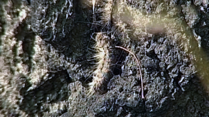 Омские леса поедает шелкопряд