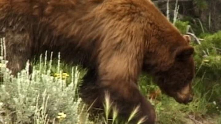 Нападение медведя в Ергаках: туристов с места ЧП выводят спасатели