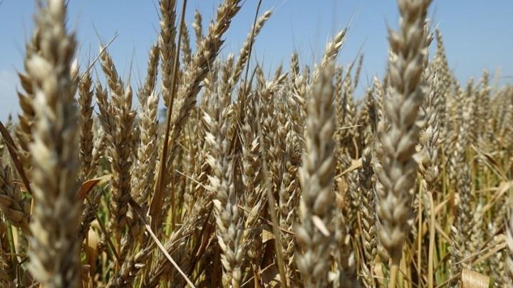 В Крыму из-за наводнения погибли более 100 гектаров посевов зерновых