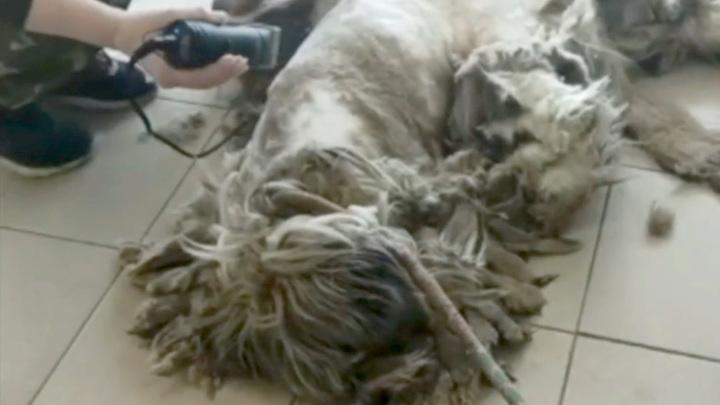 В Иркутске постригли страшно заросшую бездомную собаку