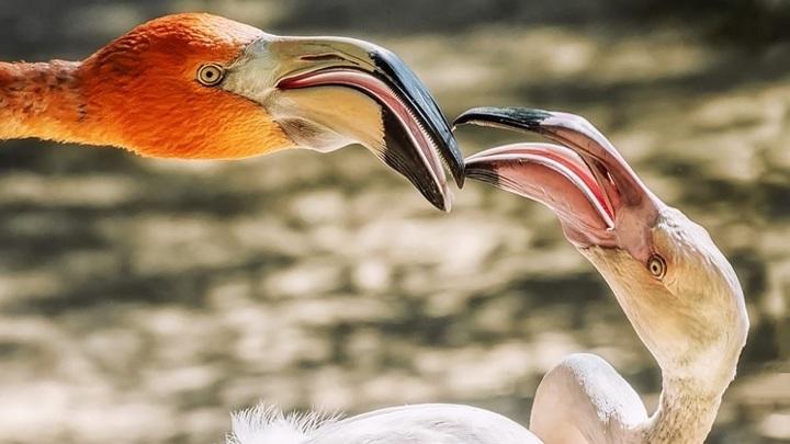 Новосибирский зоопарк поделился фотографиями розового фламинго