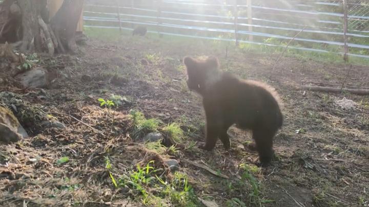 В Алтайском крае открыли ясли для осиротевших медвежат