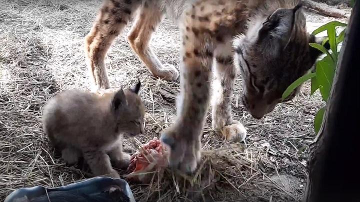Мать-рысь чуть не закопала своего детеныша, пока он ел