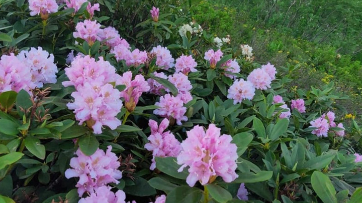 Ценное лекарство: в Сочи цветут 4 вида рододендронов