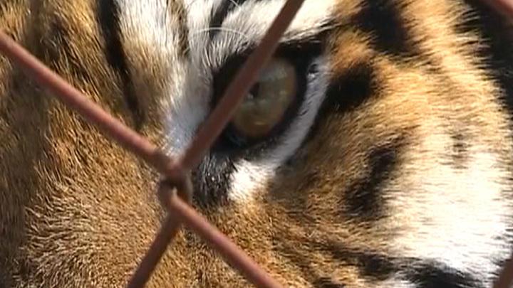 Тигрицу, державшую в страхе поселок, отпустили на волю в Приморье
