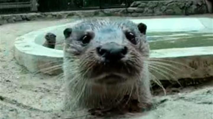 Забавное видео с купанием речных выдр показал новосибирский зоопарк