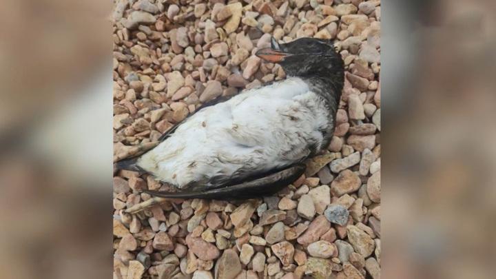 Трупы на пляже: в Приморье выясняют причины массовой гибели птиц