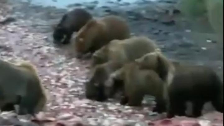 Пожирающие рыбные головы медведи на Камчатке попали на видео