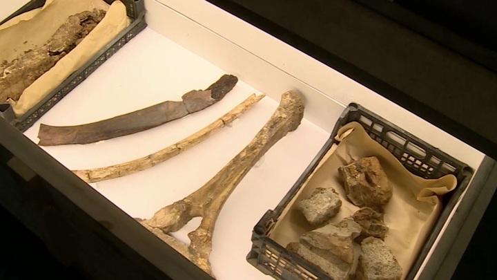 Палеонтологи Пермского краеведческого музея собрали около 80% скелета мамонта