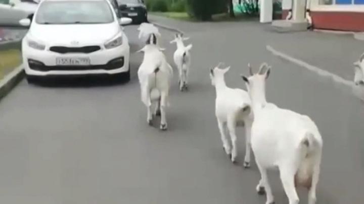 В Москве сняли на видео прыгавших по машинам коз