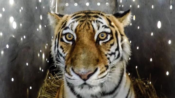 В Амурской области выпустили на волю тигрицу