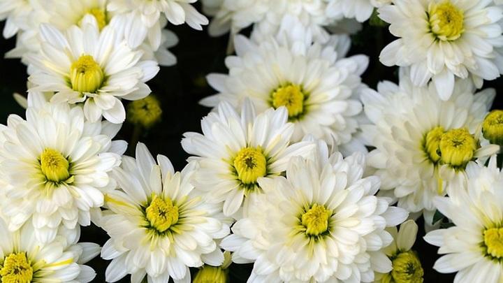 Прекрасные, но опасные: хризантемы не пустили в Новосибирскую область