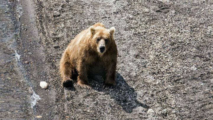 Из горящих якутских лесов вышли медведи