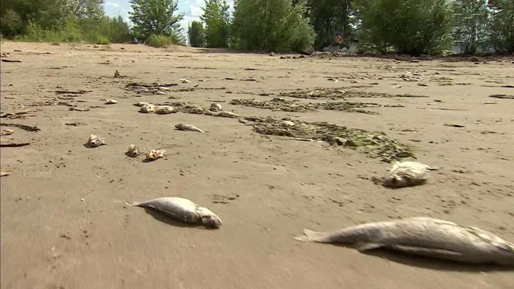 Рыбный апокалипсис: массовая гибель в нескольких регионах России