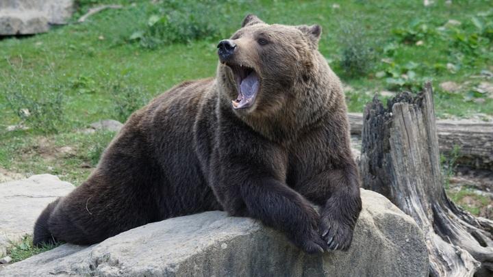 На Урале медведи поселились у горнолыжного курорта