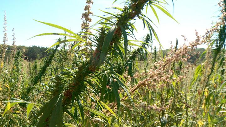 На Амуре будет уничтожено 47 гектаров конопли