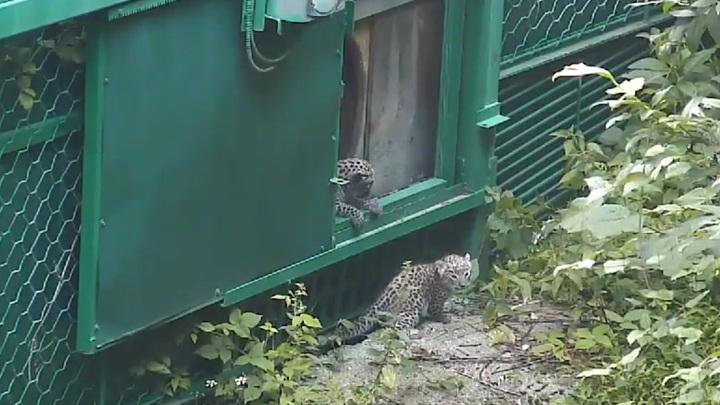 В Сочинском нацпарке на первую прогулку вышли котята переднеазиатского леопарда