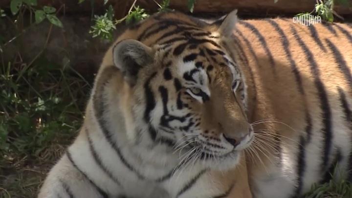 """Тигр откусил годовалому ребенку палец на руке в зоопарке """"Тайган"""" в Крыму"""