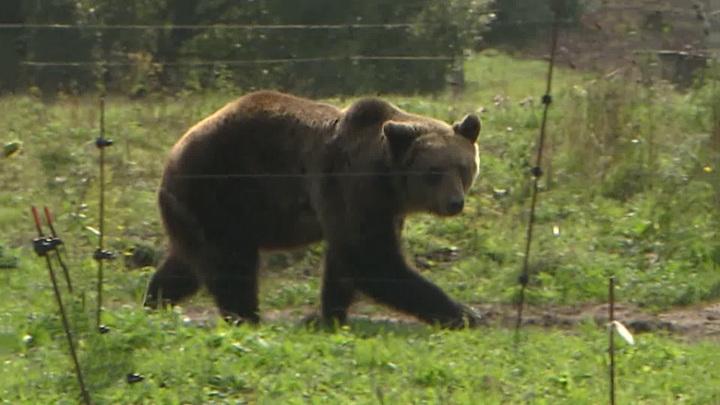 Искавшая Ан-26 наземная группа наткнулась на медведей