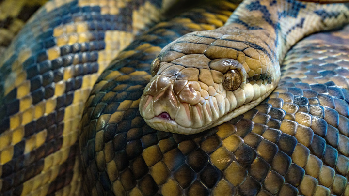 Аметистовый питон – самая крупная змея Австралии.