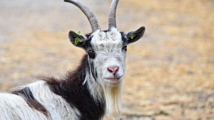 Двое мужчин воровали коз во Владимирской области