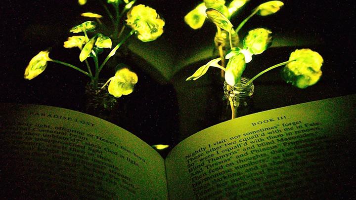 Фото 2017 года. При тусклом свете растительных фонарей первого поколения было ещё трудно читать книгу. Однако теперь учёные разработали более яркий прототип.
