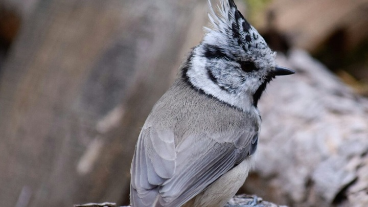 В Челябинской области замечены птицы-гренадеры с хохолками
