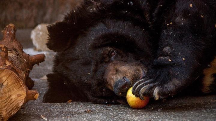 Отравленный медведь из зоопарка в Челябинске пошел на поправку