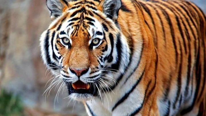 """""""Тигр неконфликтный"""". Специалисты прокомментировали встречу со зверем в тайге"""